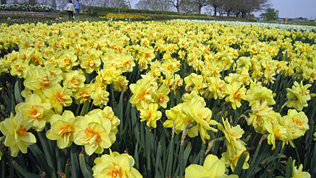 2014_04_16_菜の花畑