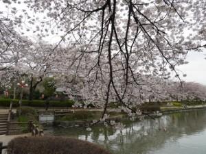 2016_04_01_桜満開