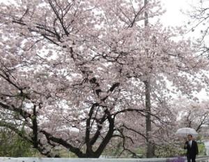 2017_04_09_地回り桜の前で